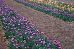 Красивый крупный план flowerbed тюльпанов Предпосылка цветка стоковые фотографии rf