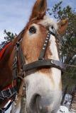 Красивый крупный план головы лошади работы Питером j Restivo стоковое фото rf