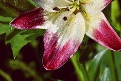 Красивый крупный план красных и белых лилий Стоковое Изображение RF