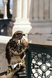 Красивый крупный план птицы орла Стоковые Изображения RF