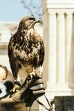 Красивый крупный план птицы орла Стоковые Фотографии RF