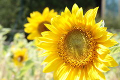 Красивый крупный план солнцецветов стоковые фото