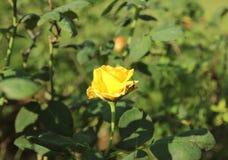 Красивый куст желтых роз в саде весны Стоковая Фотография