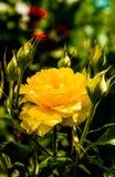 Красивый куст желтых роз в саде весны Стоковые Изображения RF