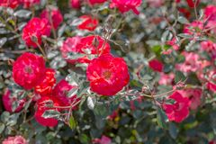 Красивый куст красных роз в саде на летнем дне Селективный фокус стоковое изображение
