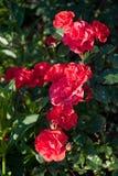 Красивый куст роз Westpoint Noack зацветая в саде Стоковые Изображения