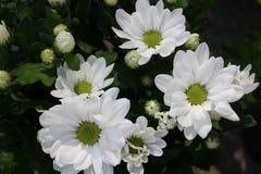 Красивый куст с хризантемой стоковое изображение rf