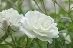 Красивый куст цветет белые розы сада в свете солнца на предпосылке природы для календаря Стоковые Изображения