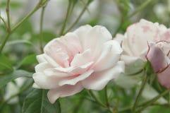Красивый куст цветет розовые розы сада в свете солнца на предпосылке природы для календаря Стоковое Изображение RF
