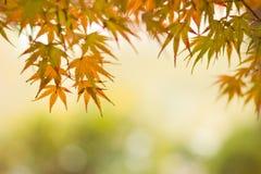 Красивый кленовый лист Стоковое Фото