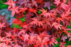 Красивый кленовый лист Стоковое Изображение
