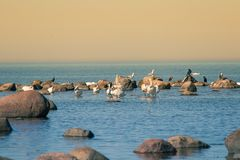 Красивый ландшафт весны на пляже с колонией птиц Лебеди, бакланы, чайки ослабляя на камнях на пляже Стоковая Фотография