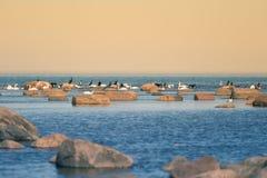 Красивый ландшафт весны на пляже с колонией птиц Лебеди, бакланы, чайки ослабляя на камнях на пляже Стоковые Изображения