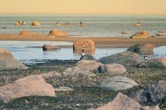 Красивый ландшафт весны на пляже с колонией птиц Лебеди, бакланы, чайки ослабляя на камнях на пляже Стоковое Изображение