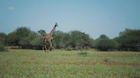 Красивый ландшафт, жираф идя на зеленое поле в Африке на солнечный день акции видеоматериалы