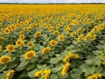 Красивый ландшафт лета с зацветая полем желтых солнцецветов на фоне облачного неба стоковые изображения