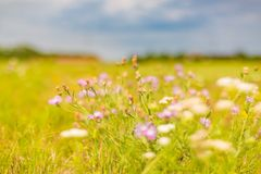Красивый ландшафт лета с blossoming лугом и цветками одичалый зацветать цветков лета весны Стоковое Фото