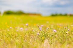 Красивый ландшафт лета с blossoming лугом и цветками одичалый зацветать цветков лета весны Стоковое Изображение