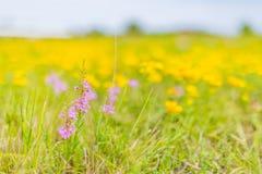 Красивый ландшафт лета с blossoming лугом и цветками одичалый зацветать цветков лета весны Стоковые Изображения