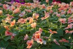 Красивый ландшафт персика покрасил растущее цветков в сочном тайском парке сада Стоковые Фото