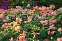 Красивый ландшафт персика покрасил растущее цветков в сочном тайском парке сада Стоковое Фото
