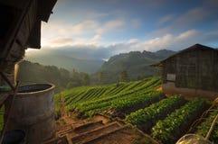 Красивый ландшафт плантации клубники в утре стоковая фотография rf