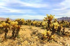 Красивый ландшафт сада кактуса Cholla, национального парка дерева Иешуа, Калифорнии, Соединенных Штатов стоковые изображения rf