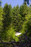 Красивый ландшафт соснового леса Стоковые Фото
