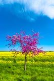 Красивый ландшафт фермы поля рапса и pinky вишневого дерева Стоковое Изображение RF