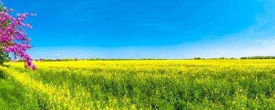 Красивый ландшафт фермы поля рапса и pinky вишневого дерева Стоковая Фотография