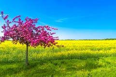 Красивый ландшафт фермы поля рапса и pinky вишневого дерева Стоковое фото RF