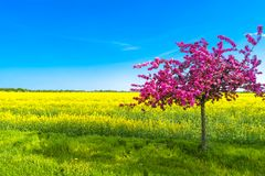 Красивый ландшафт фермы поля рапса и pinky вишневого дерева Стоковые Изображения