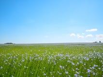 Красивый ландшафт usitatissimum linum поля или льна белья стоковое изображение