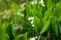 Красивый ландыш цветет с пчелой в зеленой предпосылке природы bokeh нерезкости, концепции весны Blossoming лилия  Стоковые Изображения