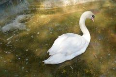 Красивый лебедь в пруде Стоковые Изображения
