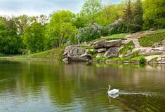 Красивый лебедь на озере в парке Sofiyivsky в Uman, Украине стоковые фото