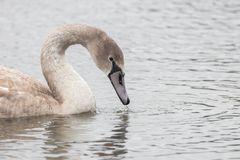 Красивый лебедь плавает на озере Стоковое Изображение RF
