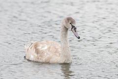 Красивый лебедь плавает на озере Стоковые Изображения