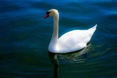 Красивый лебедь плавая на голубое реку стоковые фото