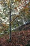 Красивый лес в зоне Monchique, Португалия каштана осени Стоковое Изображение