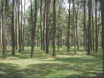 Красивый лес лета елевого дерева стоковое фото