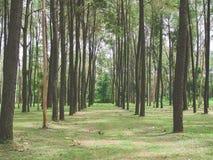 Красивый лес лета елевого дерева стоковые фотографии rf