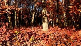 Красивый лес осени снятый с тележкой видеоматериал