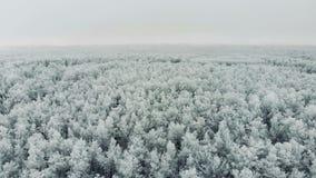 Красивый лес сосен сжался в снеге сток-видео