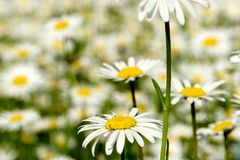 Красивый луг цветка лета с белыми цветками, цветками маргаритки иллюстрация вектора