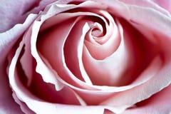 Красивый макрос конца-вверх розы пинка Стоковые Фотографии RF