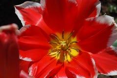 Красивый макрос красного зацветая тюльпана Стоковые Фотографии RF