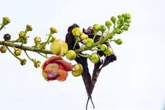 Красивый макрос снял цветка от необыкновенного guianensis Couroupita дерева пушечного ядра Стоковые Изображения RF