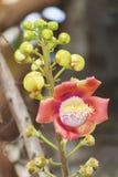 Красивый макрос снял цветка от необыкновенного guianensis Couroupita дерева пушечного ядра стоковые фото