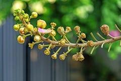 Красивый макрос снял цветка от необыкновенного guianensis Couroupita дерева пушечного ядра Стоковые Фотографии RF